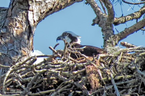 another female osprey UD150