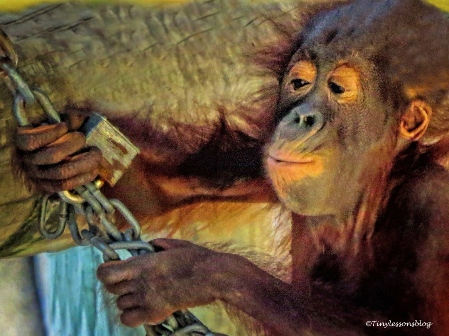 Baby chimpanzee UD148