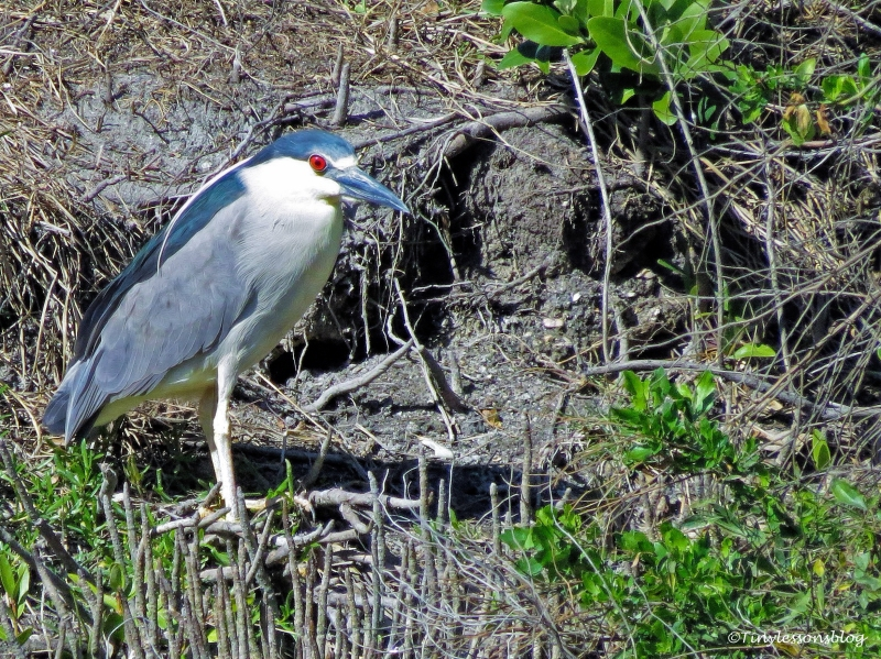 black-crowned night heron ud147