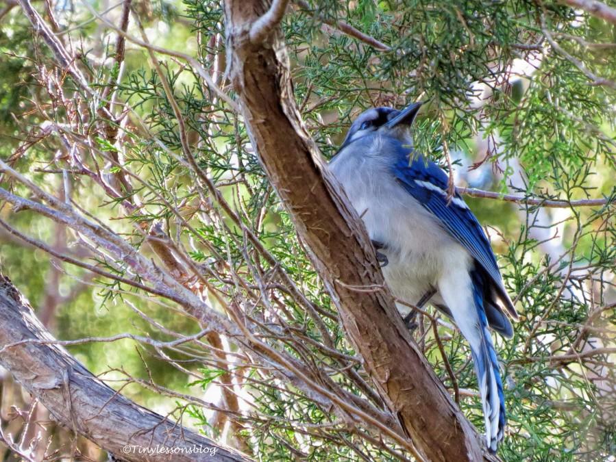 blue jay ud147