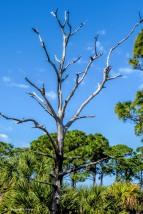 dead tree 2 on Honeymoon Island UD150