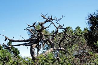 dead tree on Honeymoon Island UD150_edited-1