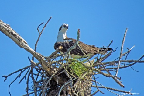 female osprey at a new nest UD150