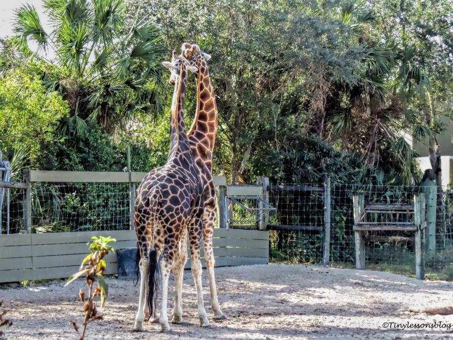 giraffe love UD148