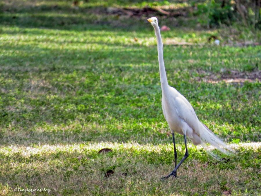 great egret 2 ud150