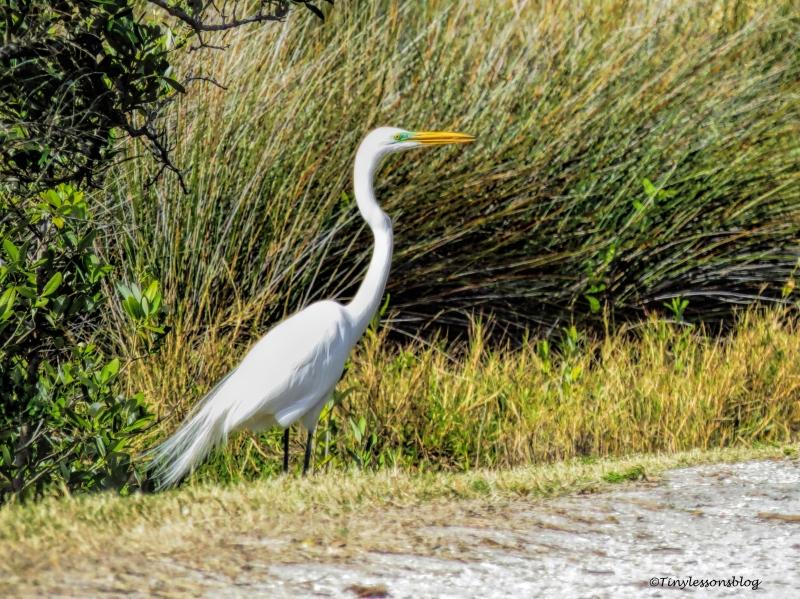 Great egret ud150