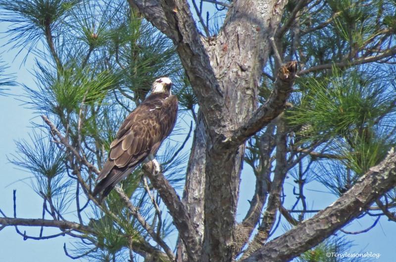 male osprey UD150