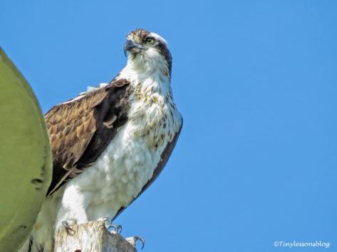 mama osprey at the nest UD150_edited-1