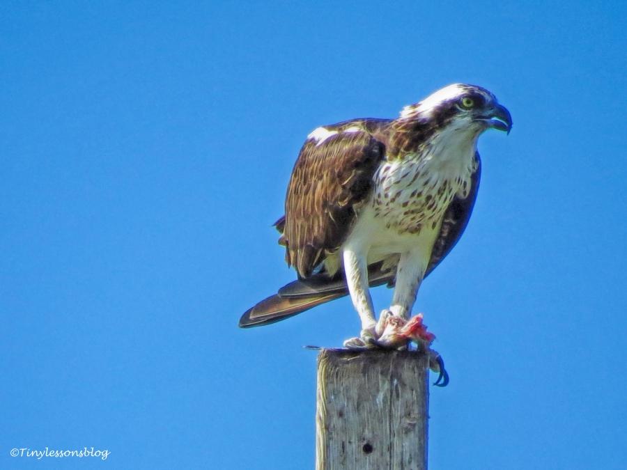 Mama osprey eats fish UD147