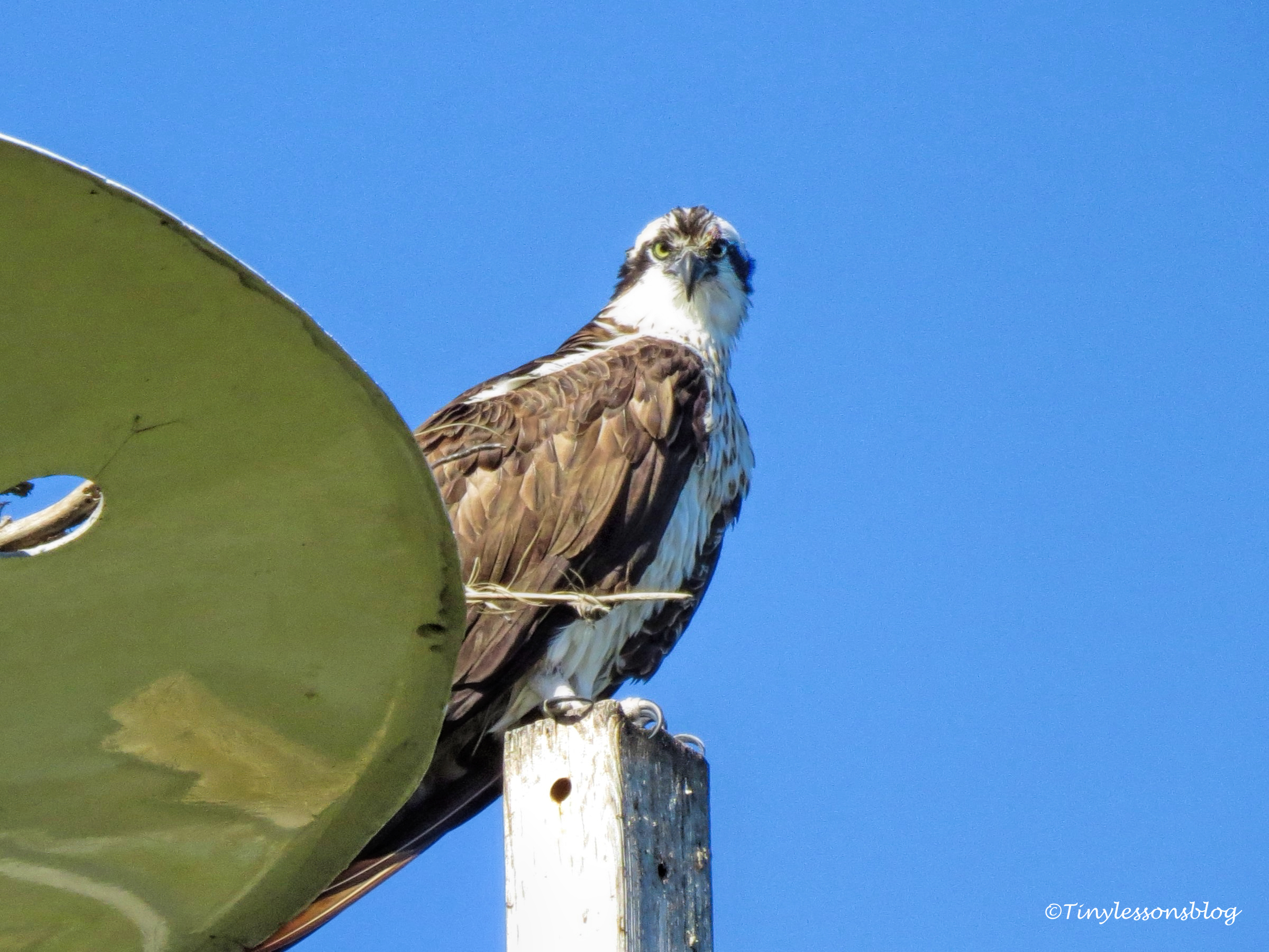 mama osprey looks at us UD147