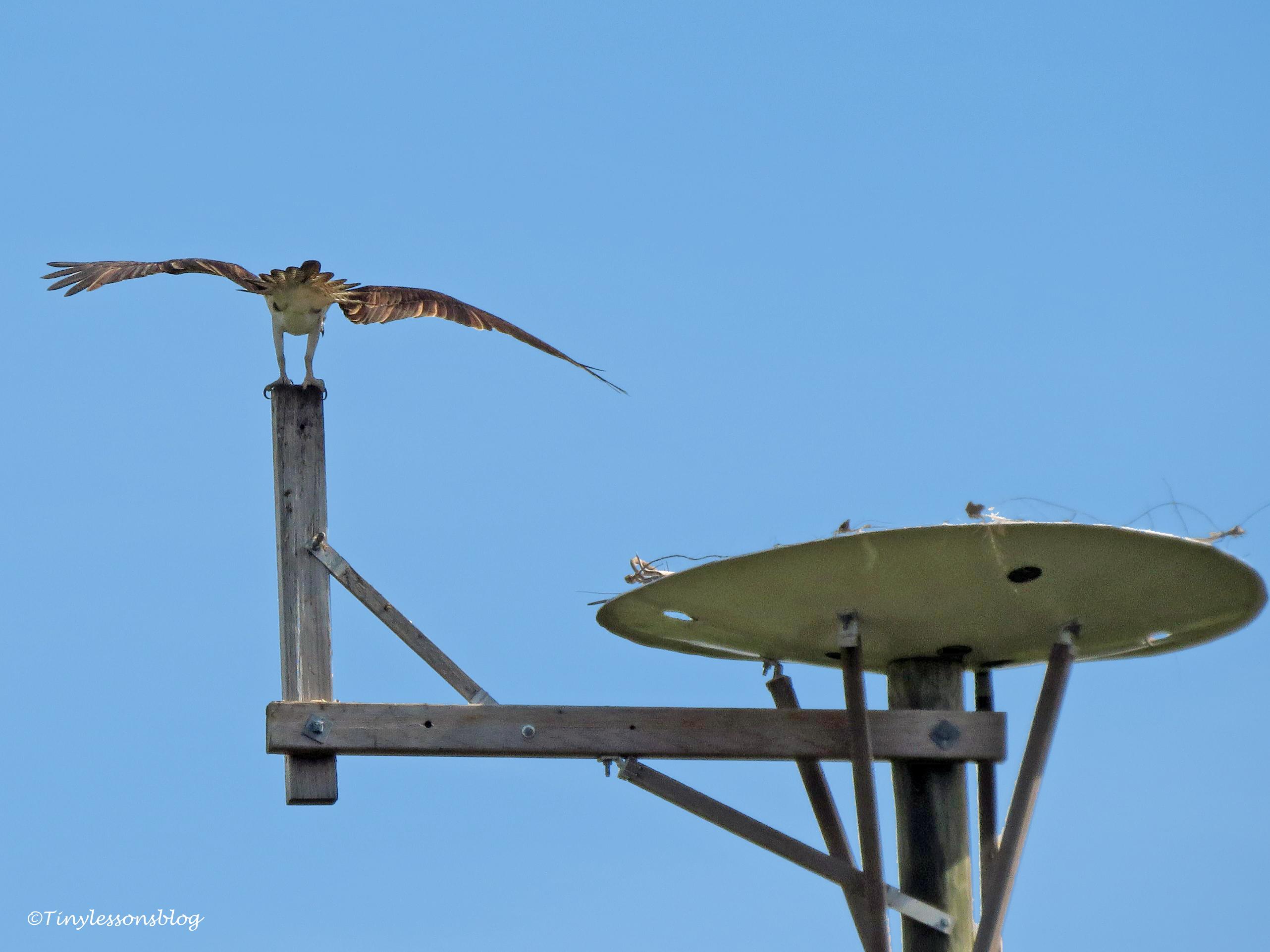 mama osprey returns UD150