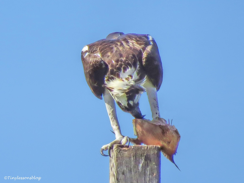 mama osprey works on a big fish UD150