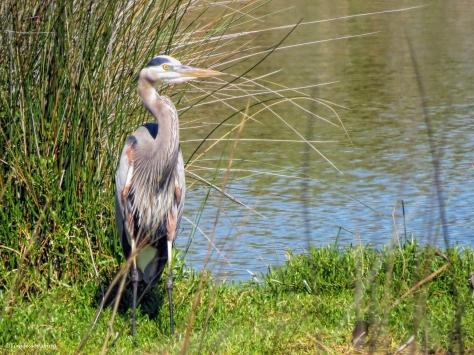 mayor great blue heron ud150