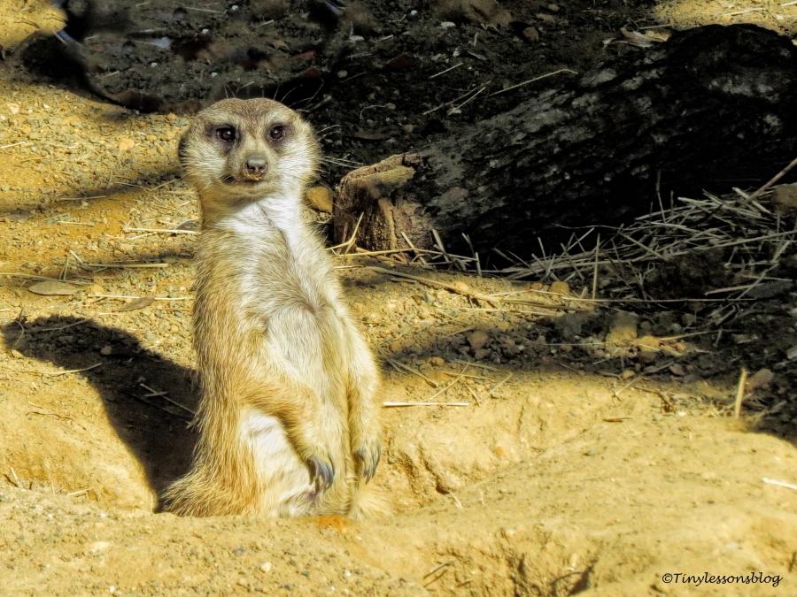 meerkat UD148_edited-1