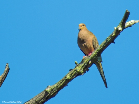 mourning dove ud150