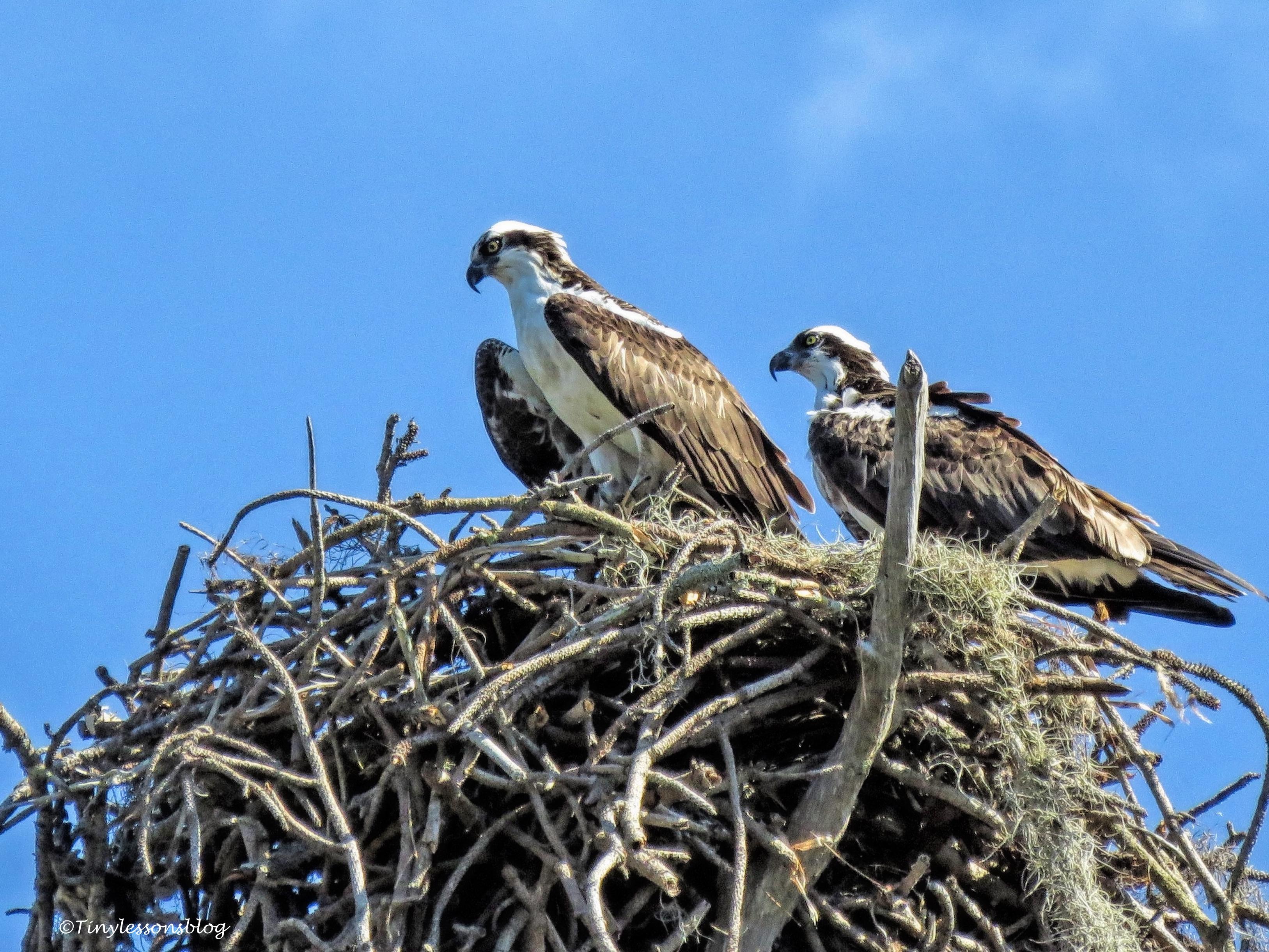 Osprey parent on Honeymoon Island UD150