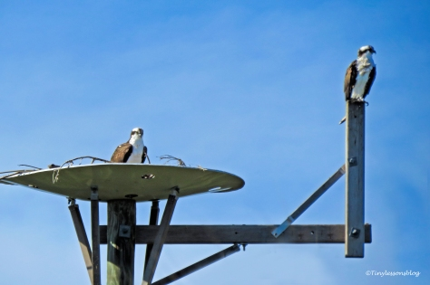 papa and mama osprey in the nest UD147