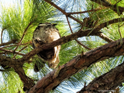 papa great-horned owl ud150