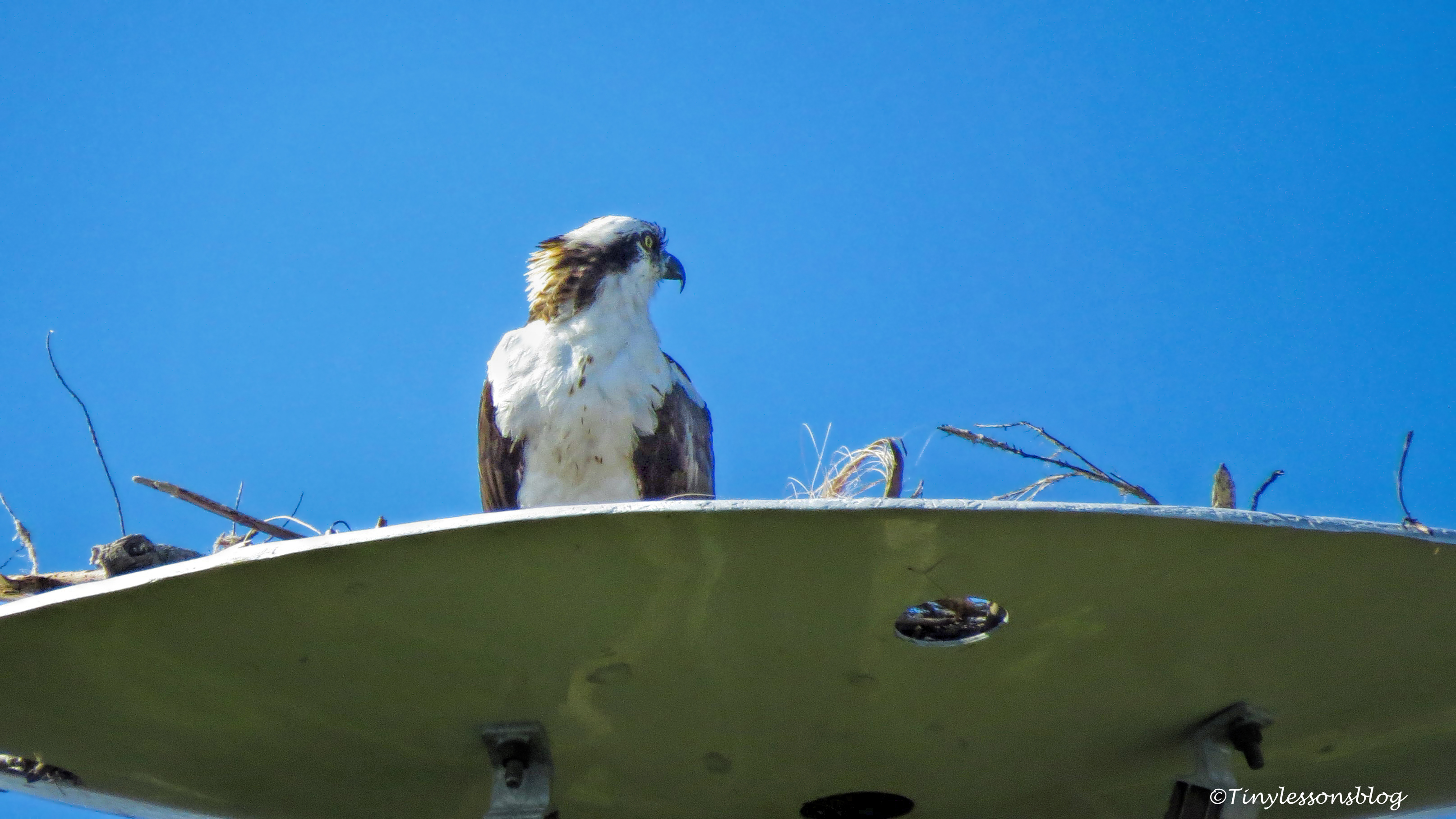 papa osprey at the nest UD147