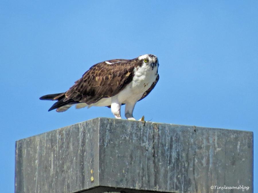 papa osprey eats fish UD147