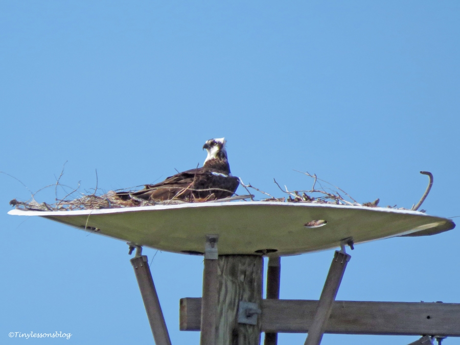 papa osprey in the nest UD150_edited-5