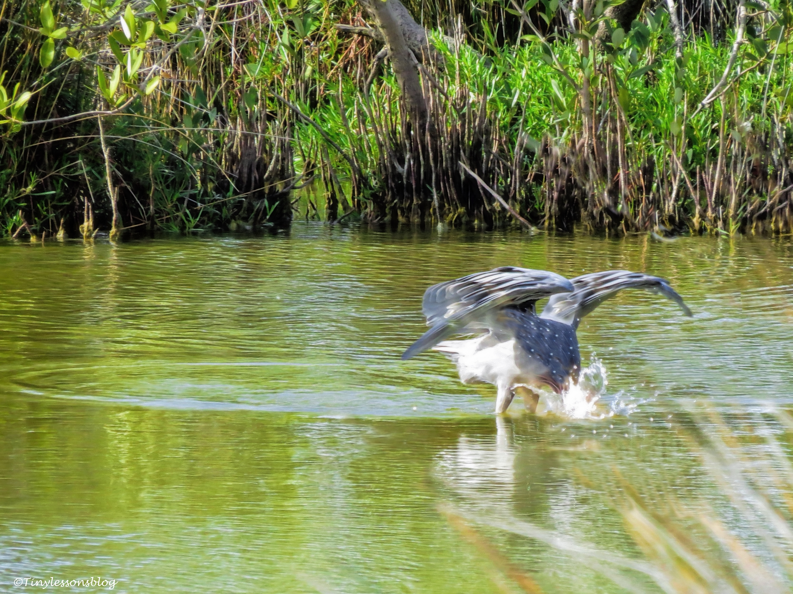 reddish egret fishing UD147