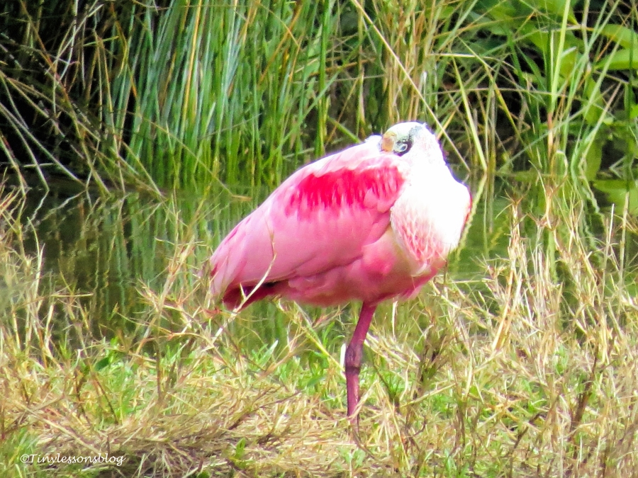 Roseate spoonbill UD147