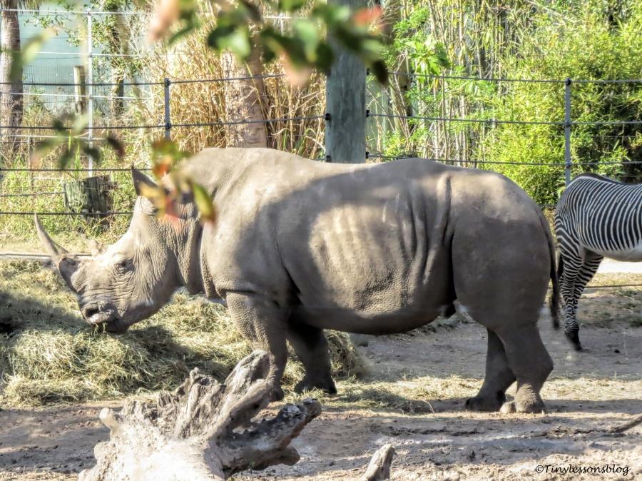 southern white rhino ud148