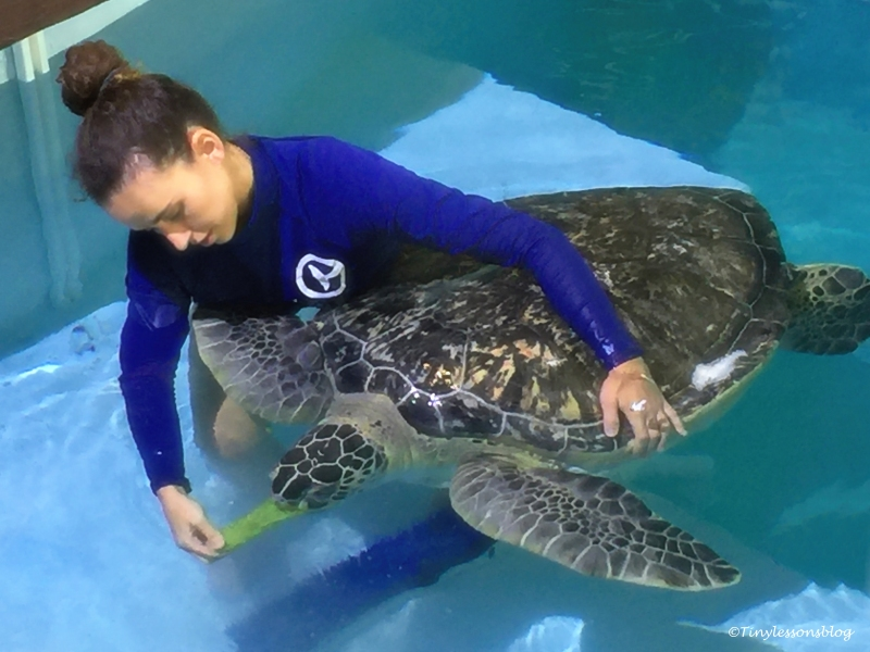 staff feeds a sea turtle UD148