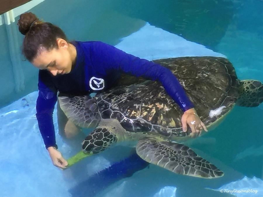 staff feeds a sea turtle UD148