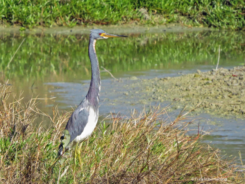 tri-colored heron ud147