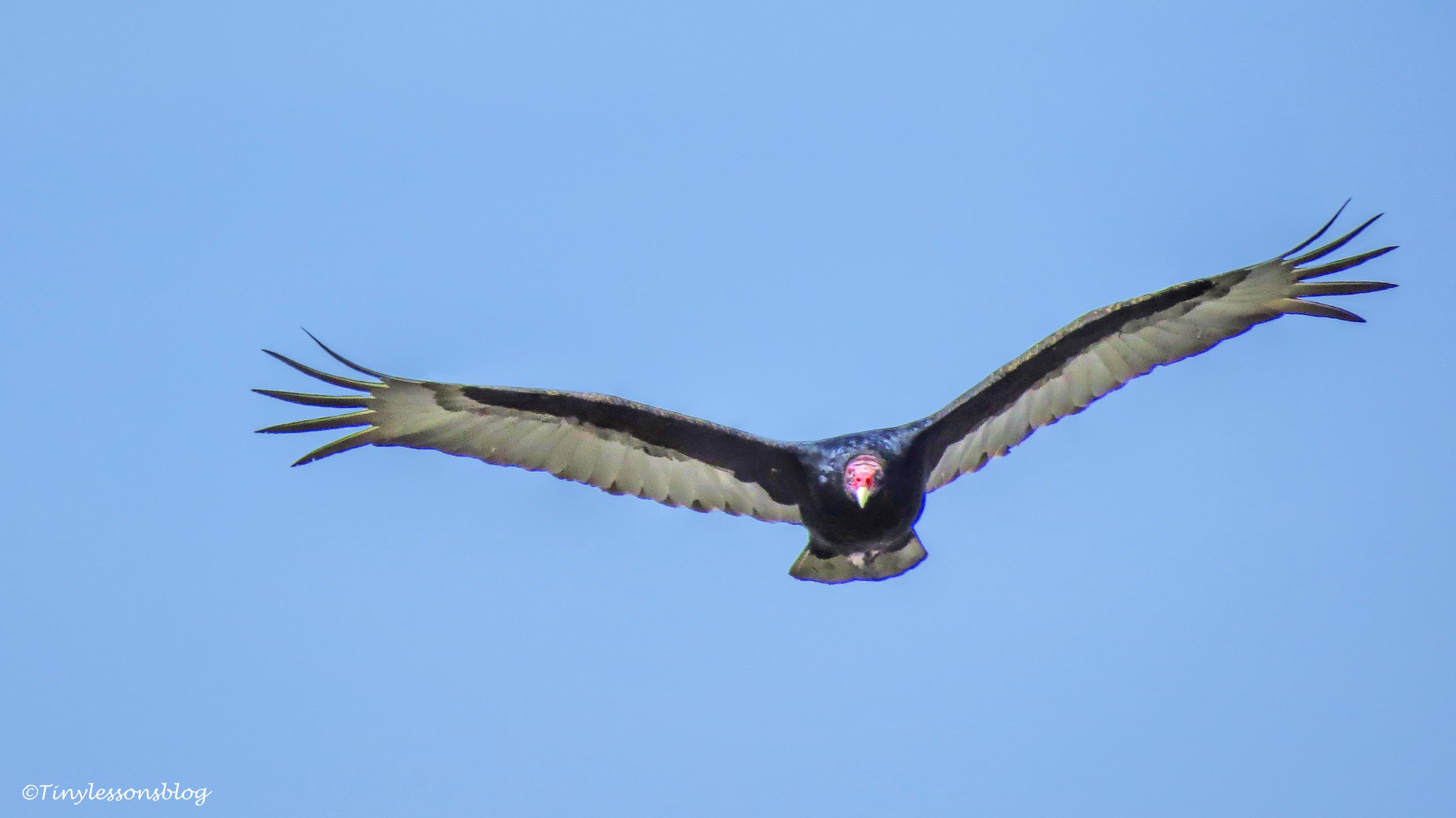 turkey vulture UD150_edited-1