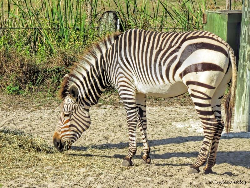 young zebra UD148
