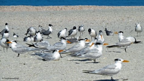 gulls and terns on the beach ud151