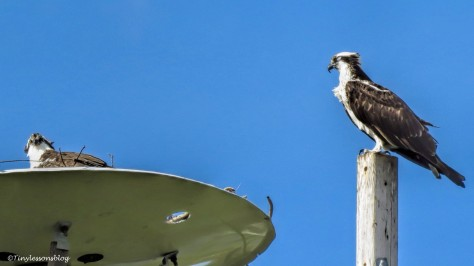 mama and papa osprey at the nest feb 9 UD150