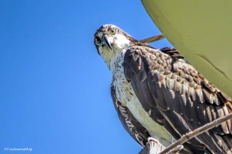 Mama Osprey has a break UD151