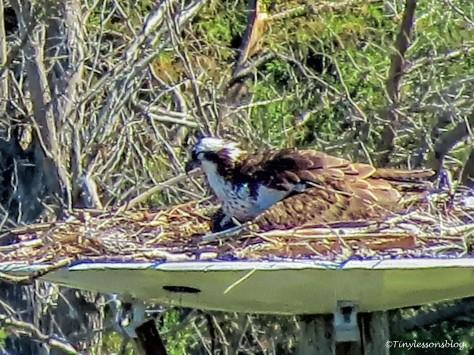 Mama Osprey incubates since Feb 12 UD151
