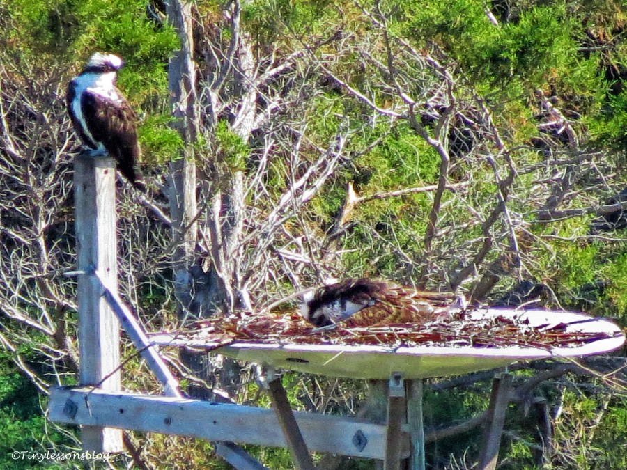 Mama Osprey turns the eggs UD151