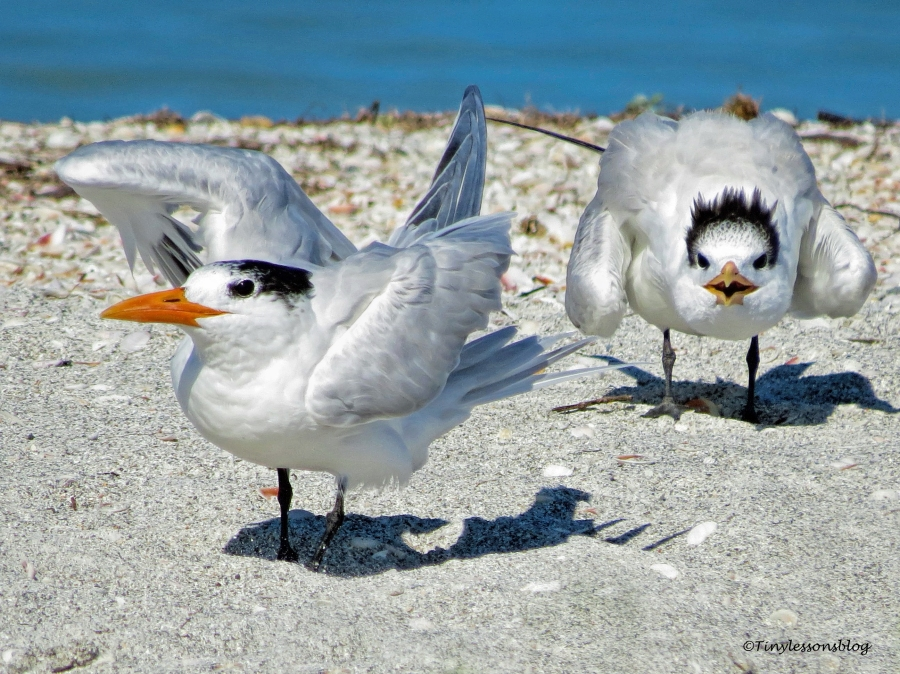 mother and juvenile royal tern ud151