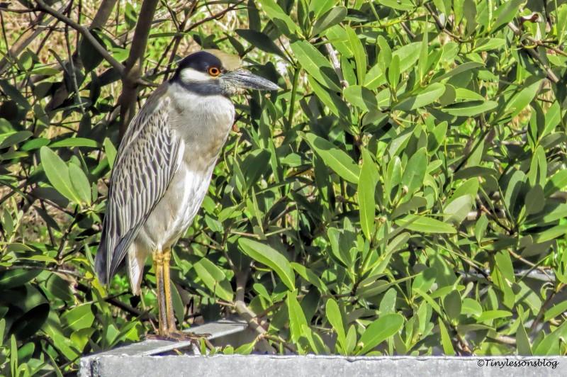 night heron ud150_edited-1