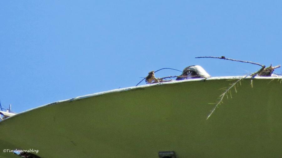 papa osprey incubates ud151