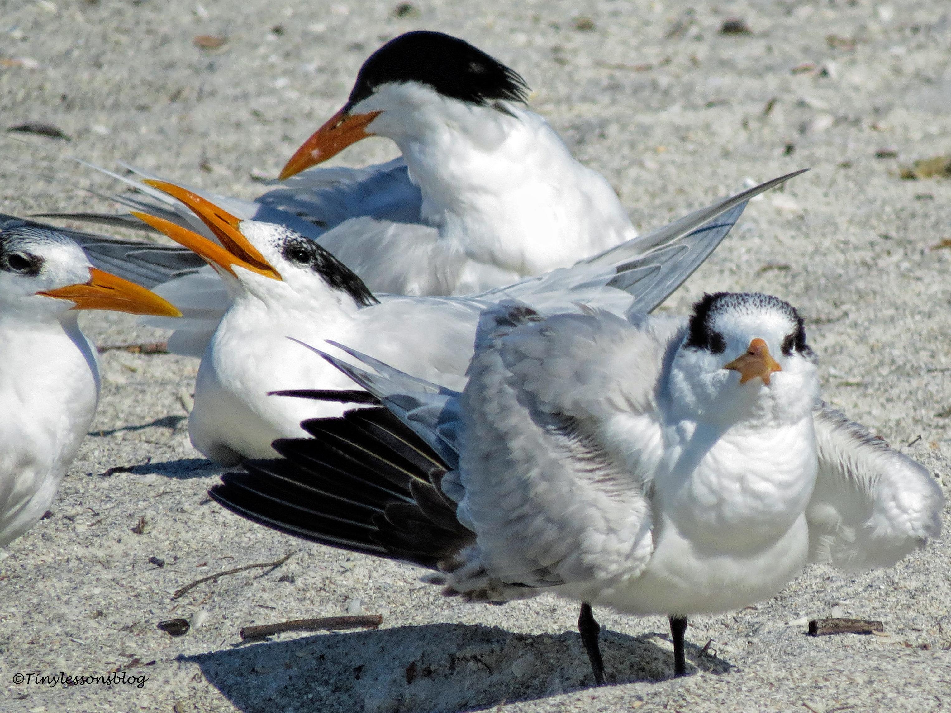 royal tern family ud151