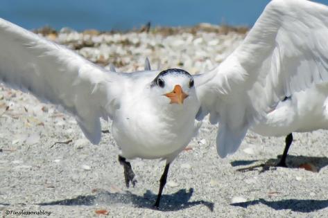 royal tern takes off UD151