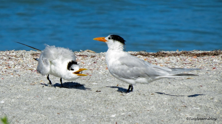 young royal tern pesters parent UD151
