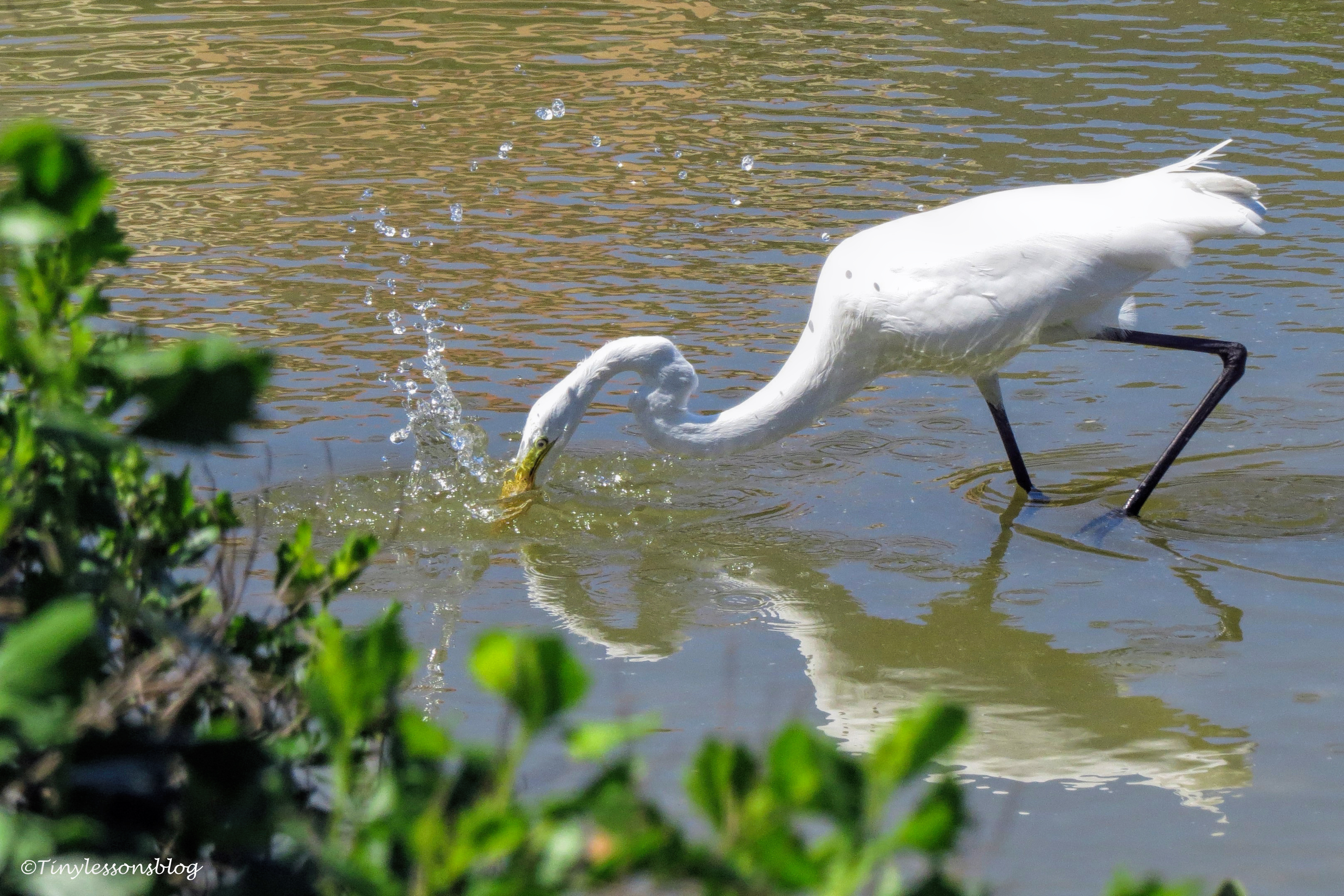 a Great Egret fishing ud153