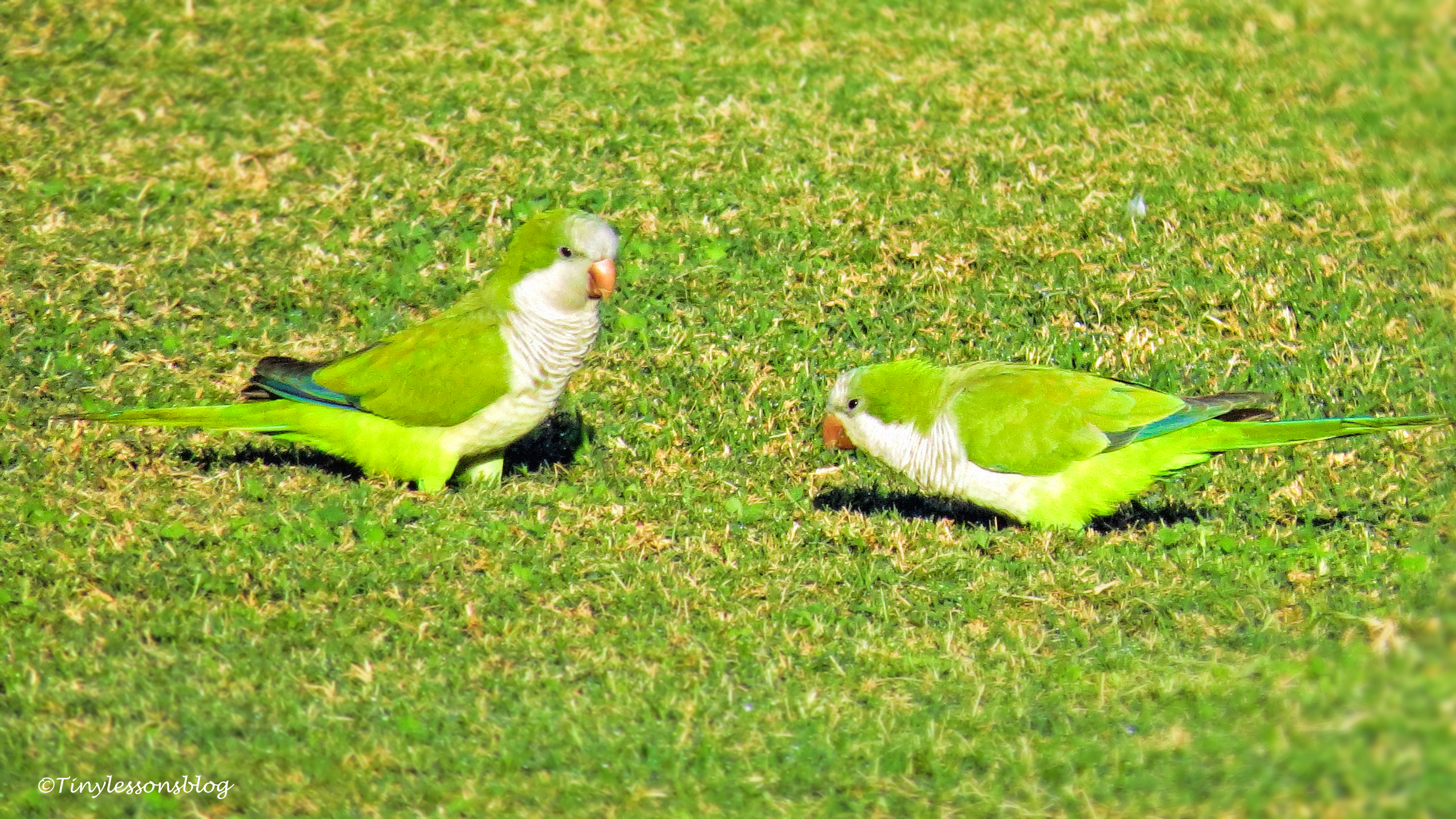 a MOnk Parakeet couple ud152