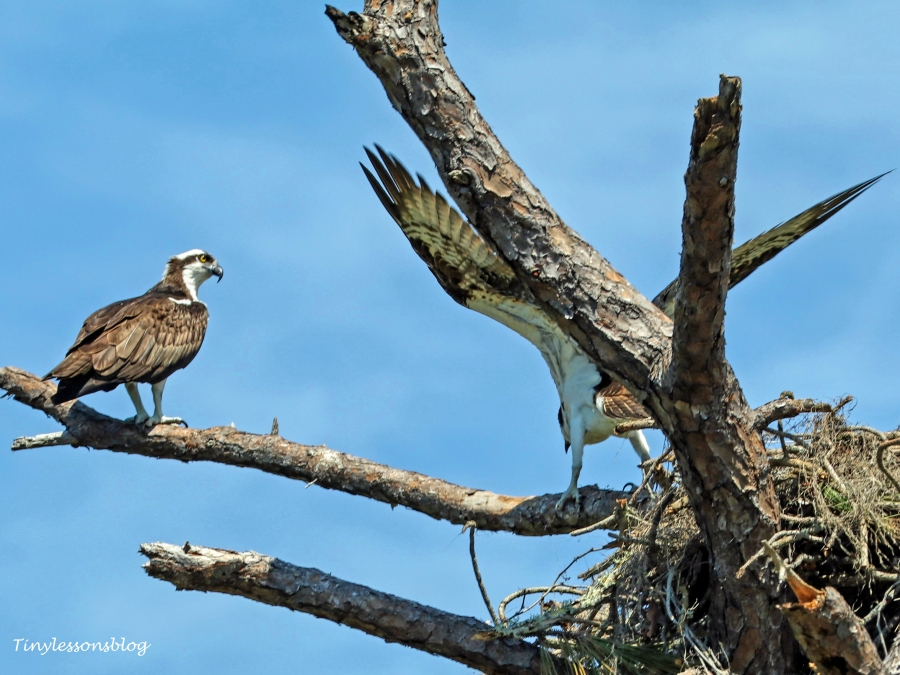 an osprey couple HMI UD154