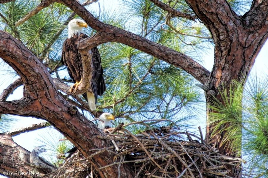 bald eagle couple UD152