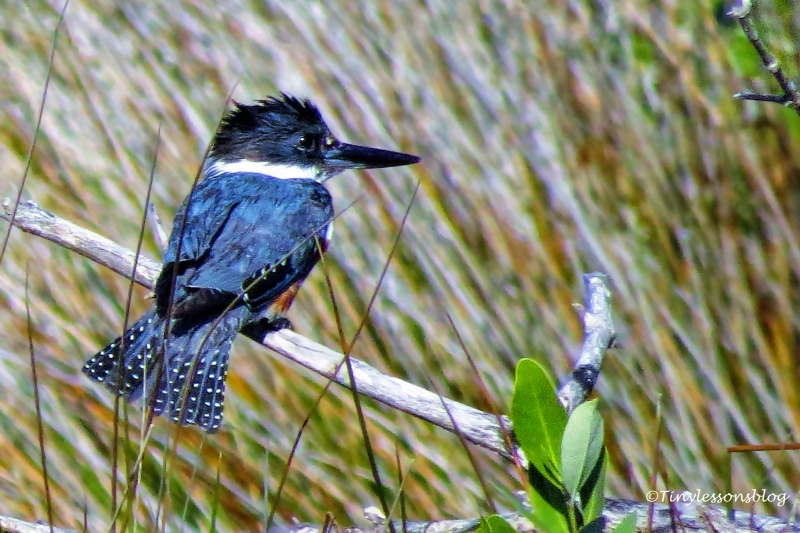 belted Kingfisher ud153_edited-1