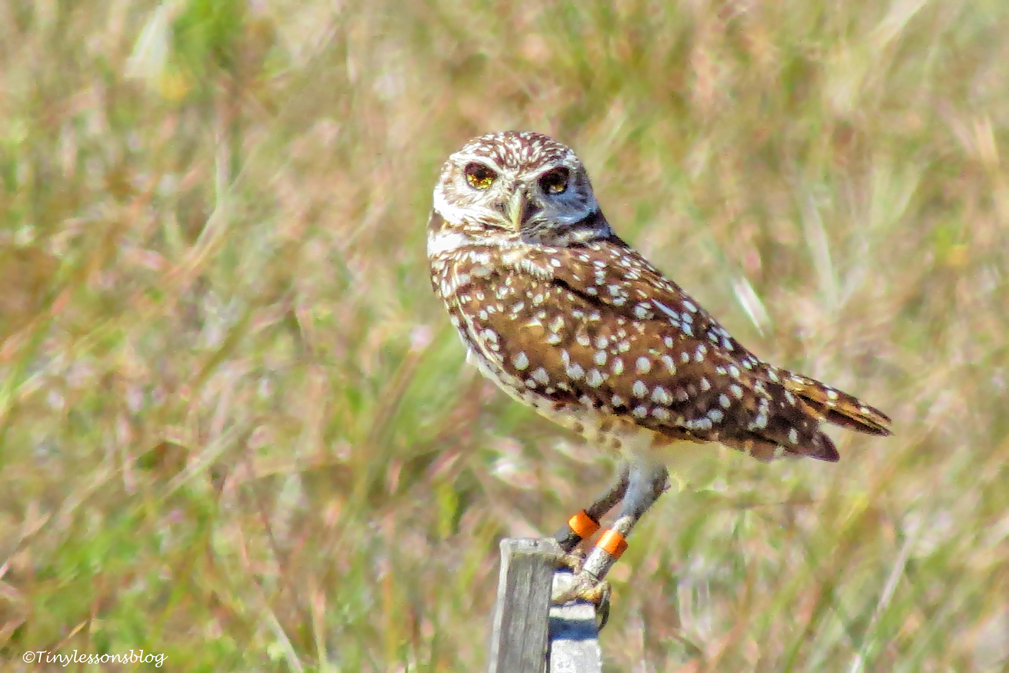 Black-eyed burrowing owl UD152_edited-2